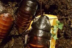 Giant Madagascan Hissing Coachroaches